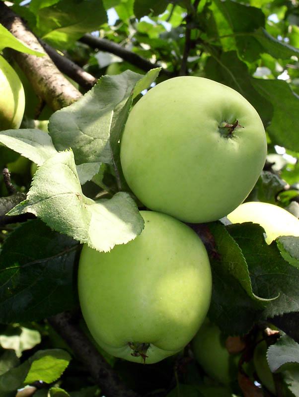 зимние яблоки зеленого цвета